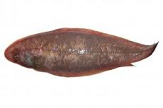 アカシタビラメ/赤舌鮃
