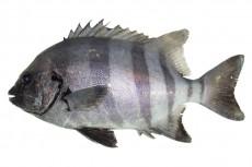 イシダイ/石鯛