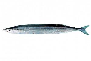 サンマ/秋刀魚