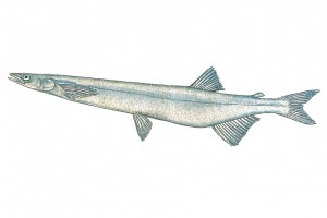 シラウオ/白魚