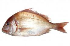 チダイ/血鯛