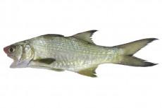 ツバメコノシロ
