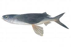 トビウオ/飛魚