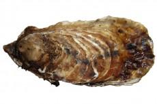 マガキ/真牡蠣