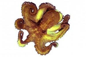 マダコ/真蛸