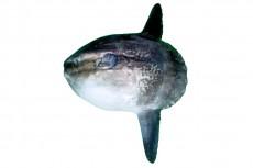 マンボウ/翻車魚